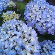 hydrangea garden care The Essential Guide to Growing Hydrangeas - Here is a guide to all you need to know about hydrangeas: a description of the different types, how to change their color, drying projects, and more! Backyard Garden Landscape, Garden Shrubs, Garden Landscaping, Sun Garden, Flower Landscape, Garden Fun, Garden Types, Flowering Shrubs, Garden Pests