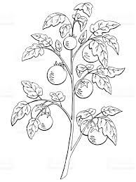 Tomato Plant Outline Plant Illustration Fruit Sketch