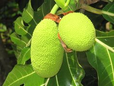 History of Breadfruit: