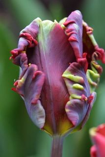 Reading too early in the morning: I thought this said Bacon Tulip.  But no, it's a Rococco tulip.