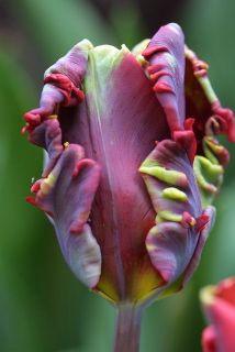Rococco tulip. Oh my.