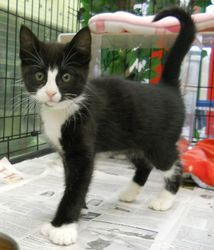 MARLEY is an adoptable Tuxedo Cat in Anchorage, AK. Playful, friendly and curious little kitten!...