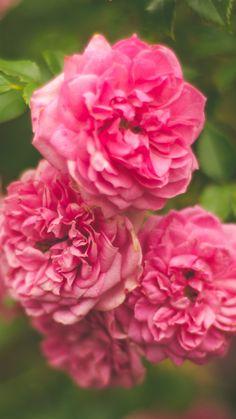 Rose Pink Flower Bush #iPhone #6 #plus #wallpaper