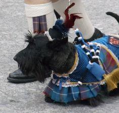 Scottish terrier in a wee kilt National Tartan Day, Men In Kilts, We Are The World, England, Tartan Plaid, Tartan Dress, Westies, Mans Best Friend, Puppy Love