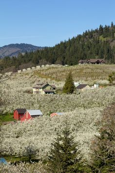 Pear Orchard in Hood River Oregon by Jit Lim