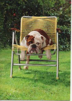 """""""Uh oh... Mom! We need new chairs!"""" ~ Dog Shaming shame - Bull Dogs"""