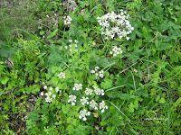 Καυκαλήθρα-Tordylium apulum Different Recipes, Herbs, Favorite Recipes, Health, Plants, Food, Gardening, Decor, Decorating
