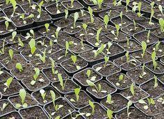 Rustica - Calendrier des semis et des récoltes au potager Potager Garden, Balcony Garden, Permaculture, Chinese Garden, Diy Garden Projects, Foliage Plants, Garden Seeds, Flower Of Life, Horticulture