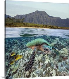 Hawaii, Oahu, A Hawksbill Turtle And Raccoon Butterflyfish, Mountain Range Above