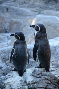 ペンギン (Penguins)