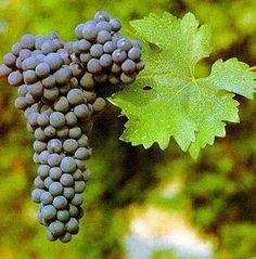 יין אלכוהול ועוד דברים טובים: קברנה סובניון הזן האציל ליצור יינות אדומים