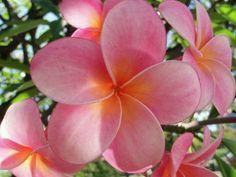 Hibiscus, Colorful Flowers, Beautiful Flowers, Plumeria Tree, Arbors Trellis, Tahiti, Trees To Plant, Peach, Bloom