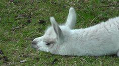Baby llama at Dean Castle Country Park, Kilmarnock, Ayrshire, Scotland.