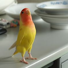Lutino Lovebird-I had one named Ducky and he would sit on the edge of my cereal bowl while I had breakfast. Very sweet bird.