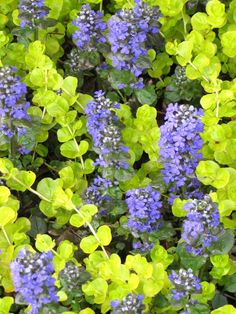Ajuga 'Caitlins Giant' and Lysimachia 'Goldilocks'