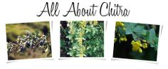 """The Indian Vegan: All About Chitra - Chitra is sometimes called """"daruharidra,"""" """"Indian barberry"""" and the """"turmeric tree."""" It's often confused with the 12 or so other variants within the """"berberis"""" family (goji included). This is in part because the fruits grow within the same region, just at varying altitudes. Its scientific name is berberis aristata."""