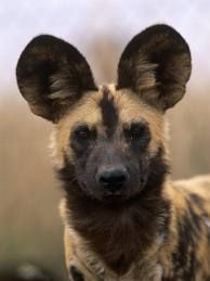 African Wild Dog. Favorite animal, by far.
