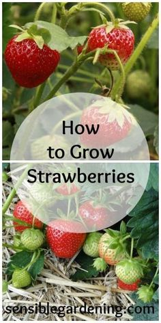 how to grow strawberries with sensible gardening by marlene