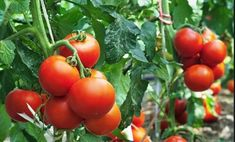 Tomato Seedlings Growing Tomatoes from Seeds: A Step-By-Step Guide Growing Tomatoes From Seed, Growing Tomatoes In Containers, Growing Seeds, Grow Tomatoes, Dried Tomatoes, Tomato Seedlings, Tomato Seeds, Culture Tomate, Baby Tomatoes