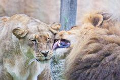 Pareja de leones enamorados en Bioparc (Valencia)