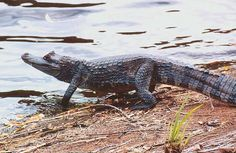 caiman   caiman species is the cuvier s dwarf caiman paleosuchus palpebrosus it ...