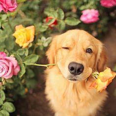 20 Ideas Dogs Labrador Funny Retriever Puppies For 2019 Retriever Puppy, Dogs Golden Retriever, Golden Retrievers, Cute Puppies, Cute Dogs, Dogs And Puppies, Doggies, Funny Dogs, Funny Animals