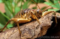 Giant weta (Deinacrida heteracantha) on a tree branch. This species of weta, also known as the Wetapunga from the Maori language, is native to New Zealand. Adults can measure up to 10cm long without including the antenna and legs, and pregnant females can weigh over 70 grams, making them the heaviest insects in the world.