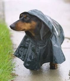 """Raincoat's the best investment I ever made!"" #dogs #pets #Dachshunds Facebook.com/sodoggonefunny"