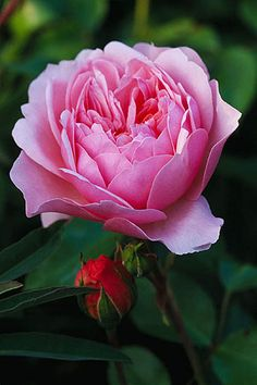 English rose 'Anne Boleyn' - I have this one in my garden, she is strong & keeps on giving flowers