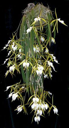 Epidendrum parkinsonianum