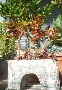 Crassula ovata minima Succulent Bonsai, Succulents, Crassula Ovata, Jade, Succulent Plants