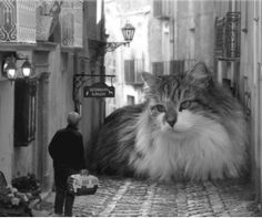 Yes, indeed, Maine Coon Cats are big ;-)