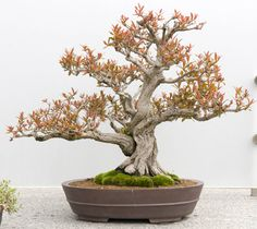 Punica granatum (Twisted Pomegranate), 'Nejkan'. Style: Informal Upright
