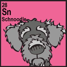 Schnoodle (Schnauzer x Poodle)