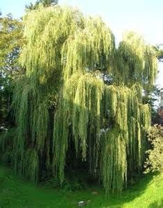weeping willow - Yahoo Image Search Results