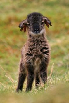 Soay lamb from Scotland!
