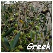 The greek olive, Kalamata Olive, is used for fresh eating. Ty Ty Nursery has the best selection from 1yr trees to mature plants. Call the Olive pros today with questions or to buy toll free 888-758-2252.