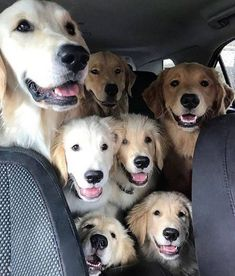 Astonishing Everything You Ever Wanted to Know about Golden Retrievers Ideas. Glorious Everything You Ever Wanted to Know about Golden Retrievers Ideas. Funny Dogs, Funny Animals, Cute Animals, Animals Dog, Funny Memes, Funny Quotes, Perros Golden Retriever, Funny Golden Retrievers, Cute Puppies Golden Retriever