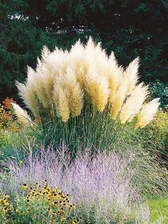 Grow your own Ornamental Grass - and then bring it indoors! (Pampasgrass -Cortaderia selloana 'Pumila')