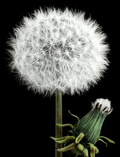 Dandelion heads in fruit, open and closed | Flickr - Photo Sharing!