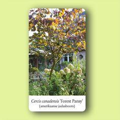 Door zijn hoogte (max 3 m) is dit boompje heel geschikt voor een kleine tuin. In het voorjaar loopt hij uit met fraai gevormd, donkerrood blad. In april-mei verschijnen de roze bloemen, die in bundels aan de takken zitten.   Soort plant: boom   Hoogte: tot 4 meter  Bloeitijd: april-mei  Grondsoort: gewone tuingrond (niet te nat)  Standplaats: zon, halfschaduw  Aantal per m2: 1  Bijzonderheid: mooie herfstkleur  Onderhoud: geen