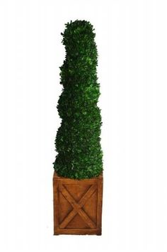 Laura Ashley 59 Inch Tall Preserved Natural Spiral Boxwood Topiary in 13 Inch Fiberstone Planter *** You can find more details by visiting the image link.