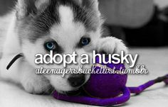 bucket list: adopt a husky