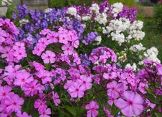 Syysleimu on syksyn kaunis kukkija Planting Flowers, Plants, Flowers, Garden