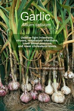 Garlic - Allium sativum Used to fight infections, viruses, respiratory infections, lower blood pressure, and lower cholesterol levels.