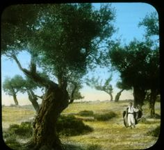 Olive orchard - mount of olives :: H.G. May Archaeology of Palestine