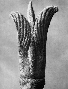 Karl Blossfeldt (1865-1932) botanical fine art photographer - Cornus pubescens