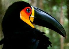 The channel-billed toucan (Ramphastos vitellinus ariel) Photo credit: Ana_Cotta Pretty Birds, Love Birds, Beautiful Birds, Animals Beautiful, Tropical Birds, Exotic Birds, Colorful Birds, Animals And Pets, Cute Animals