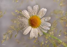 .. Widescreen Wallpaper, Dandelion, Daisy, Birds, Nature, Plants, Invites, Join, Twitter
