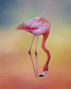 FLAME COLORED WADER: A beautiful flamingo doing what what they do best....wading in water.